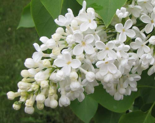 White lilac flower images flower decoration ideas white lilac flower images flower decoration ideas white lilac flower gallery flower decoration ideas white lilac mightylinksfo